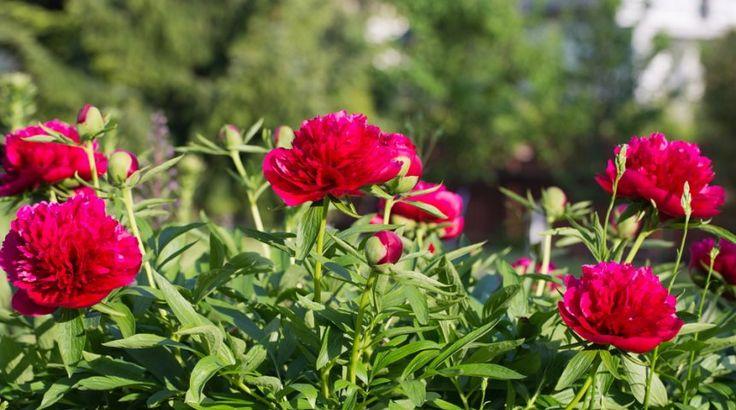 Пышные пионы в саду