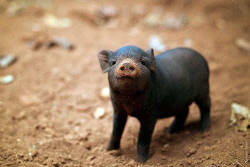 .Why wouldn't I want a pet pig if they look like this?!  I just wish they stayed this size...