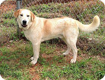Scottsboro, AL - Labrador Retriever Mix. Meet Einstein, a dog for adoption. http://www.adoptapet.com/pet/12806915-scottsboro-alabama-labrador-retriever-mix