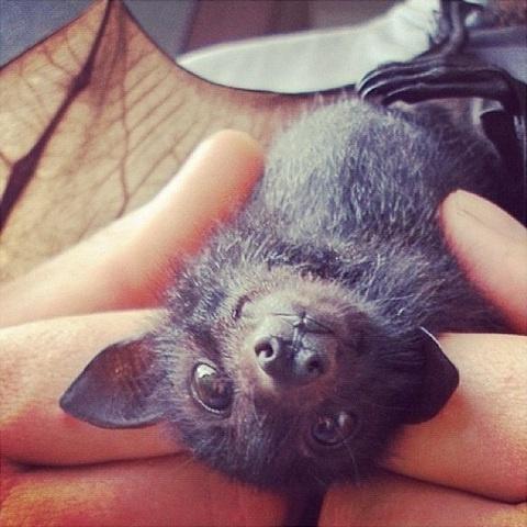 Baby flying fruit bat in rehab