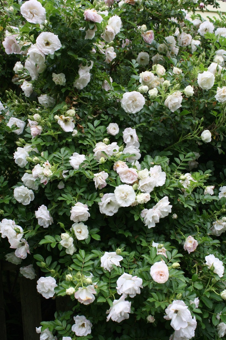 Rosa rugosa white perfection Mexican rose garden Rosor