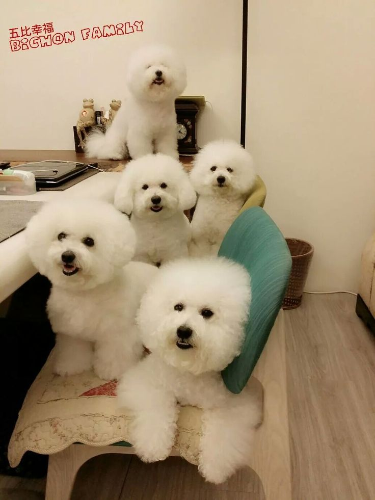 Bichons .... Oh  my goodness! What would I do with 5? Sweeties :)