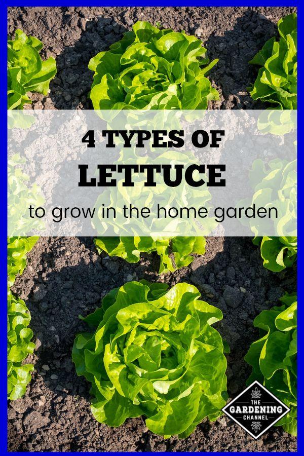 4 Types Of Lettuce To Grow In Your Home Garden Vegetable Garden