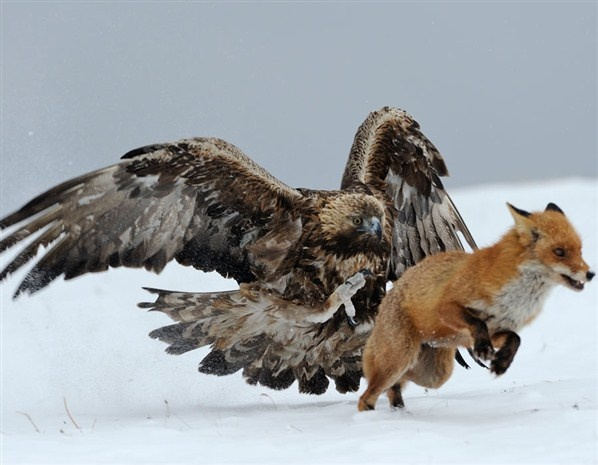 A golden eagle chases a fox away from its food (© Stefan Huwiler/Veolia Environnement Wildlife Photographer of the Year 2012)