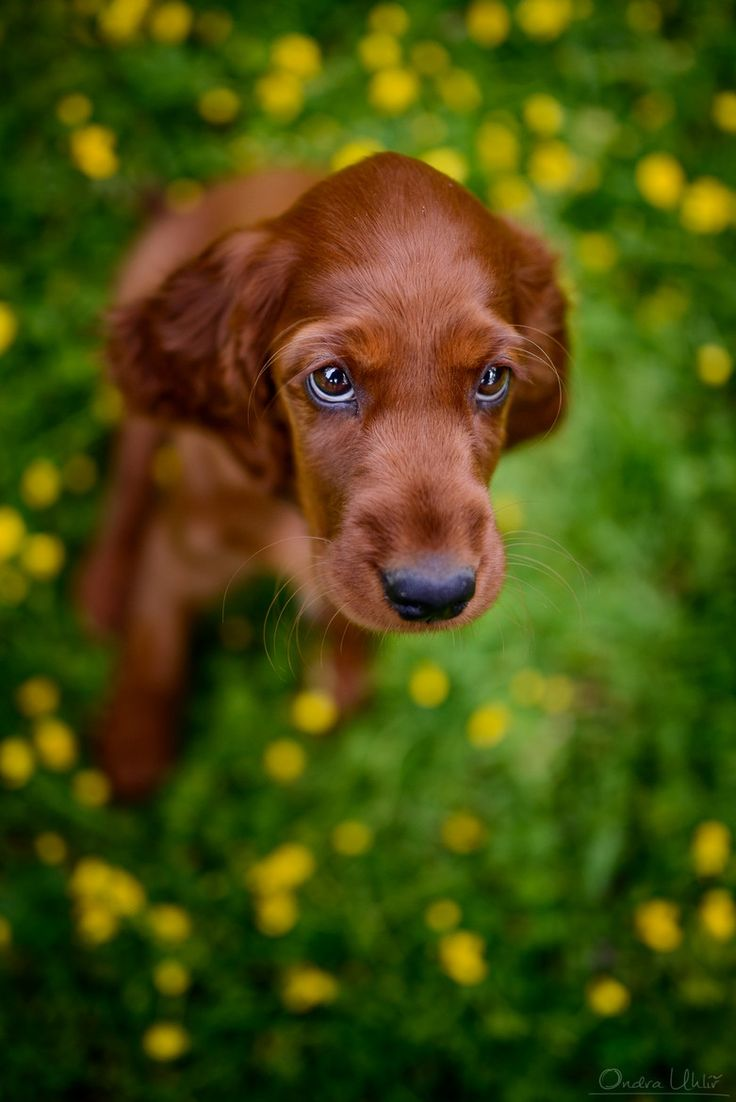 Beautiful Irish Setter Puppy ~ you don't see to many of these any more.