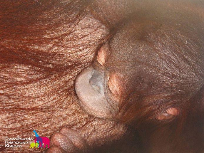 Baby orang oetan geboren in Ouwehands Dierenpark