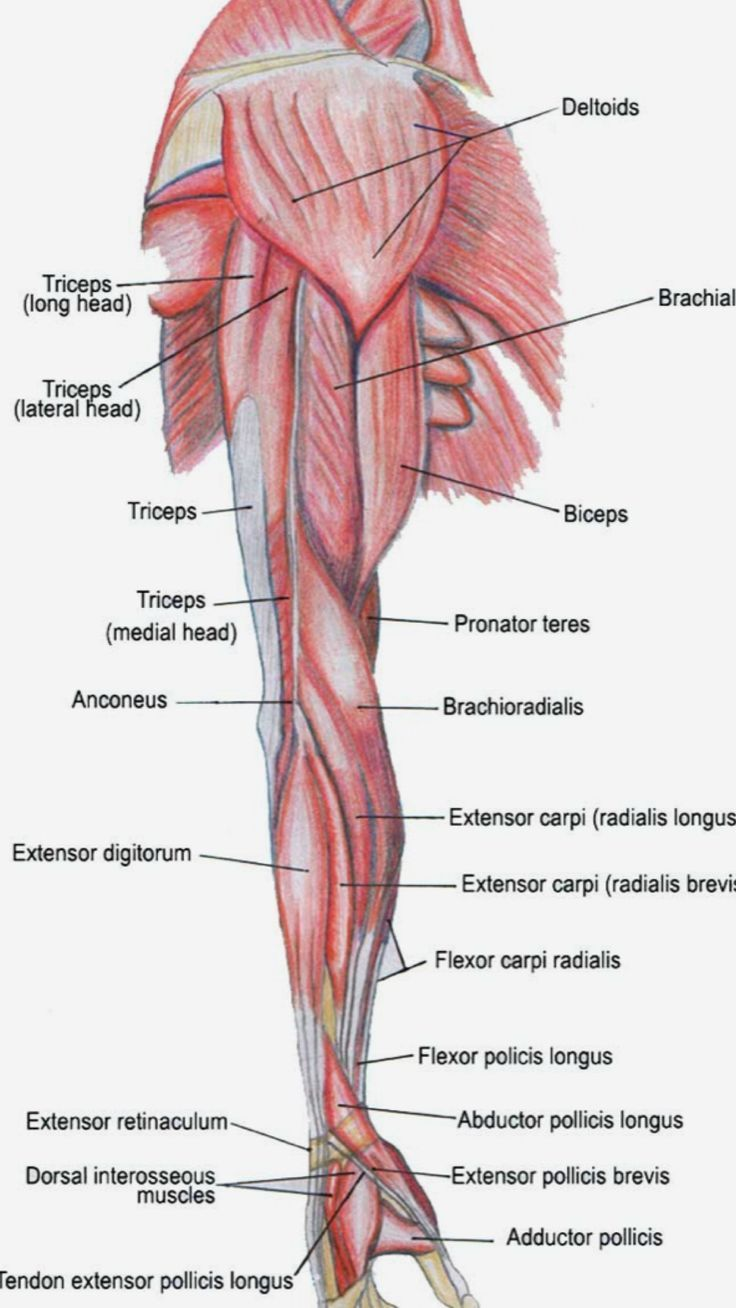 small resolution of health and body maria whitehead arm muscle anatomy arm anatomy body anatomy