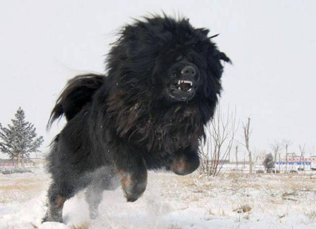tibetan mastiff dog attack
