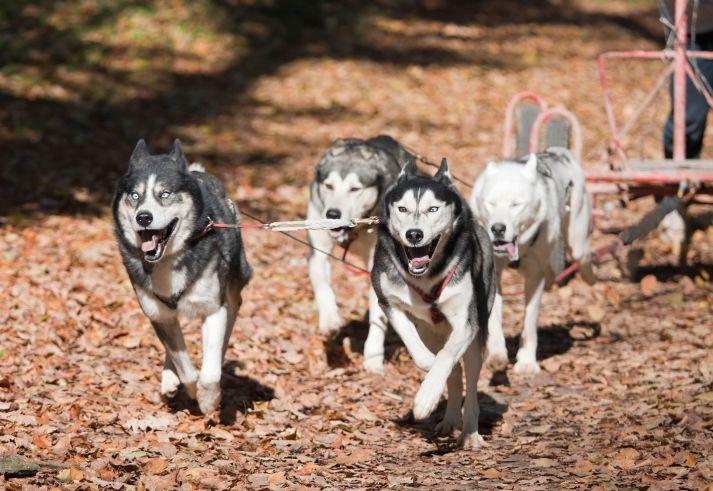 Balades en chiens de traîneau - Mas de la Barque