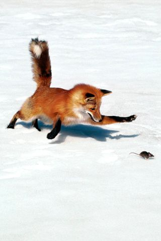 Fox, playing with its food