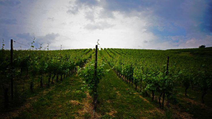 Our vineyards in Retorbido, during the flowering. #vineyards #wine #marcheseadorno #grapes #flowering #spring