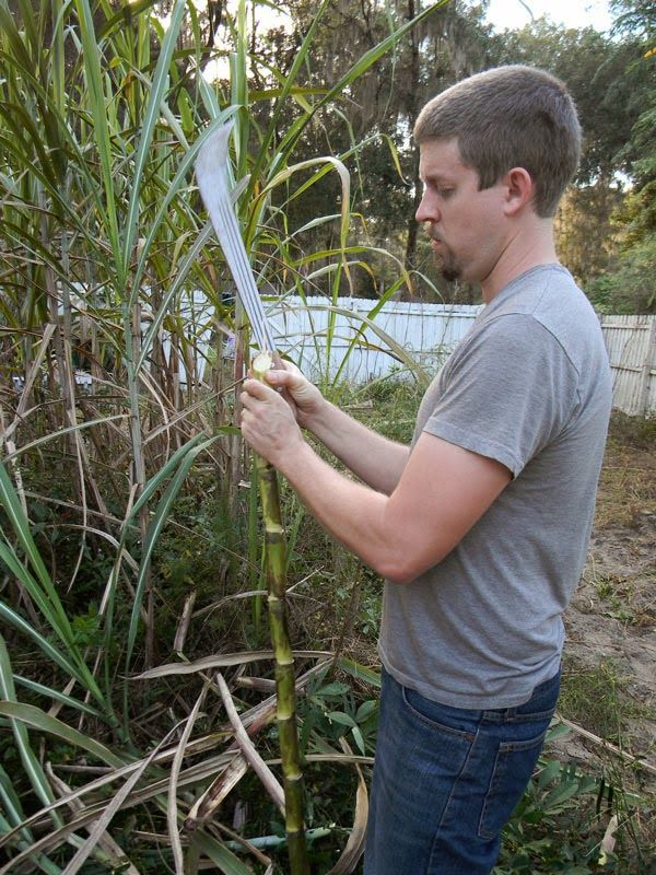 Florida Survival Gardening: How to make cane syrup at home... without a sugar cane press