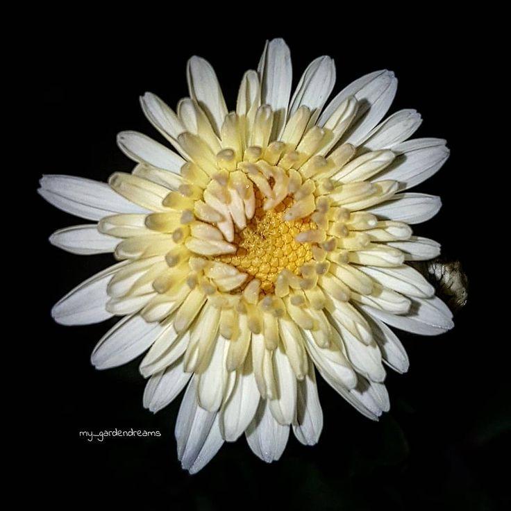 Es ist Chrysanthemen Zeit  Lasst es euch gut gehn ihr Lieben  . . #fotografie_ist_unser_hobby #blooming_macro #makro #macro
