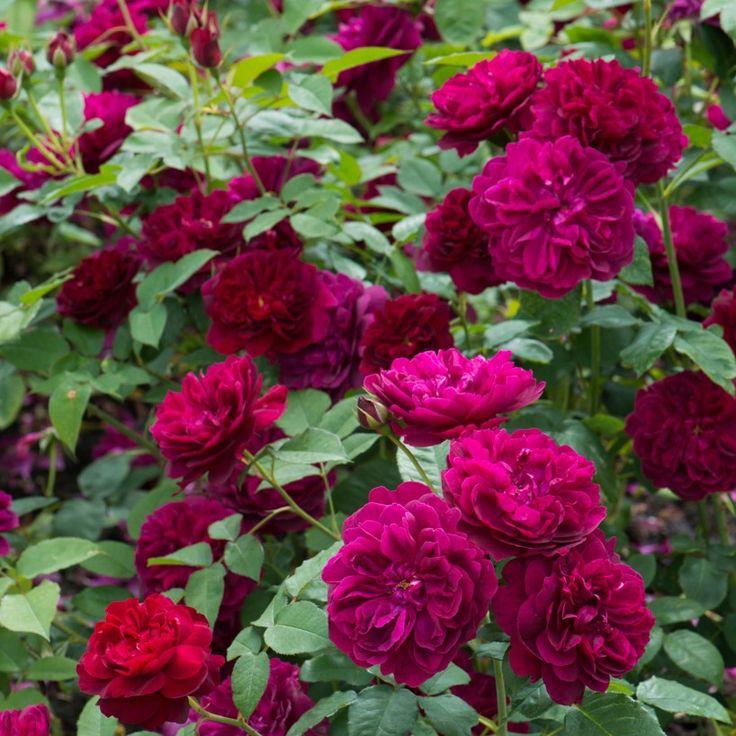 Darcey Bussell .... English Rose - bred by David Austin #DavidAustinRoses #GardenRoses #ShrubRose