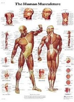body muscle names muscle body parts name muscle | clase escultura, Muscles