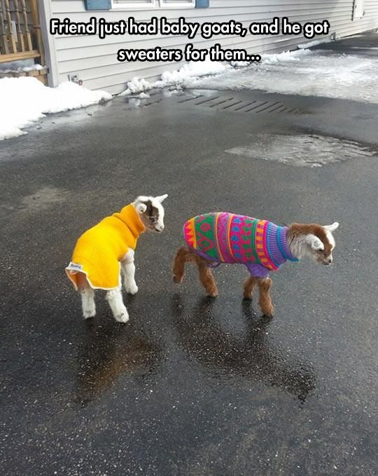 Baby goats in sweaters!!