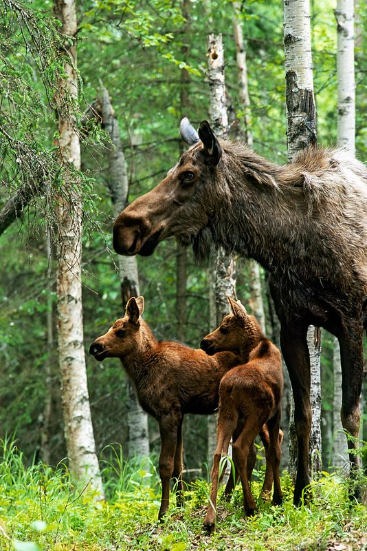 Moose twins and their mother