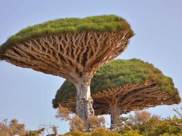Драконово дърво (Dracaena Cinnabari)