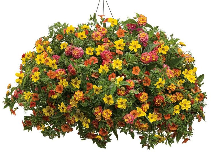 Range Flower Baskets : Superbells dreamsicle calibrachoa goldilocks rocks biden
