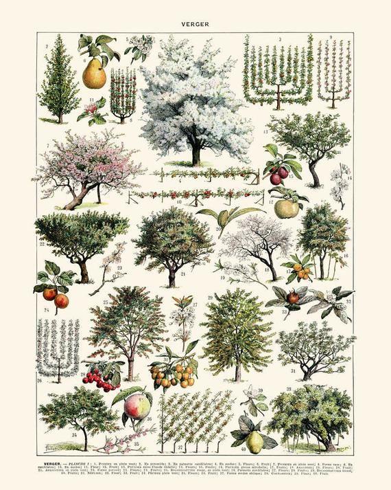 Fruit Trees Illustration Vintage Print 1 Trees Poster Trees