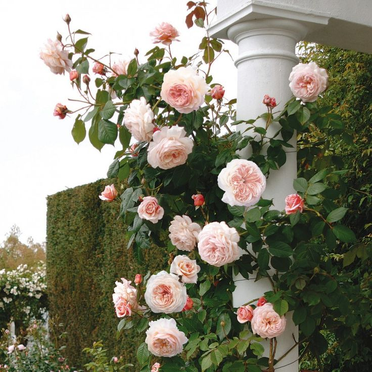 a shropshire lad climbing rose by david austin pretty much a classic very