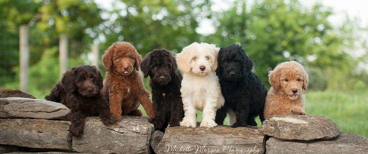 Labradoodle puppies for sale, Labradoodle breeders, bordoodle puppies for sale, bordoodle breeders, Labradoodle puppies