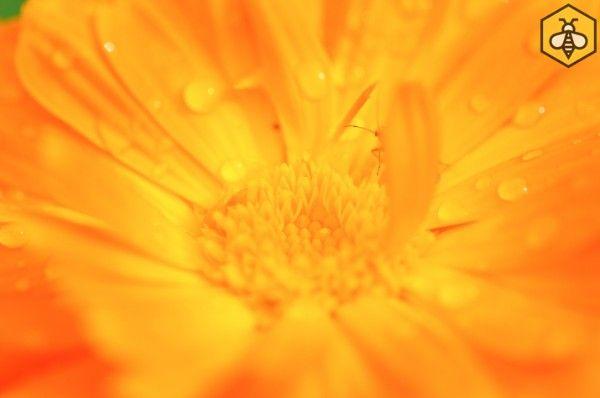 Nagietek lekarski (Calendula officinalis) kwitnie niestrudzenie aż do przymrozków, daje owadom nektar i pyłek