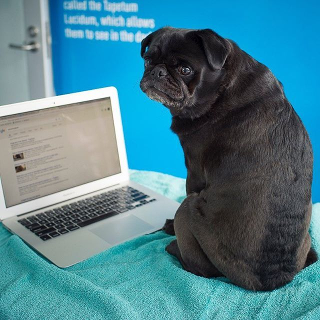 Does your pug need to shed some weight? Todays #pugwellnesswednesday tip is about how you can help your pug to shed that excess weight so they are trim. Heres a step-by-step guide to getting your pug in shape: 1. Estimate his/her body condition score. It helps to have an unbiased person do the assessment. Thats why its a good idea to have a chat with your vet! 2. Weigh your pug. 3. Based on the body condition score and your pugs body weight come up with an ideal body weight. Ask your…