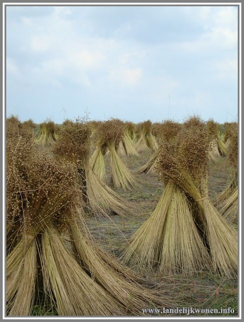 Flax grown in the Netherlands