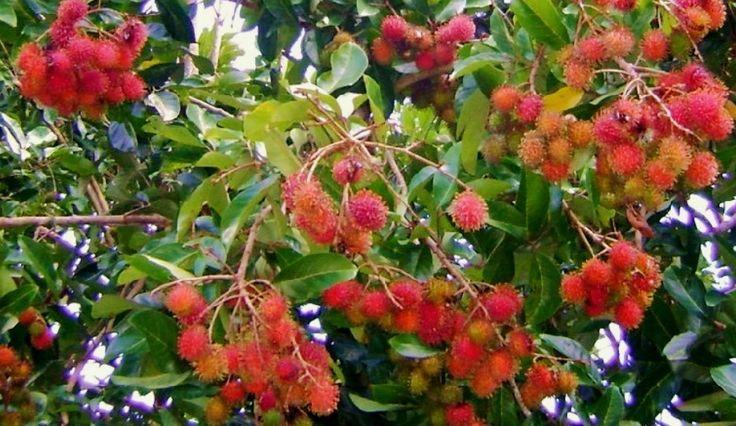 Pohon Rambutan yang Banyak Buah