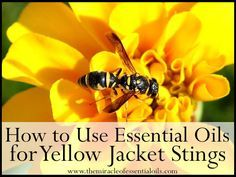 Yellow jacket stings can be extremely painful, severe and even fatal. Among the best first aids to use are natural remedies. Learn how to use essential oils for yellow jacket stings for quick relief and soothing.