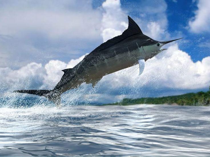 Летучие рыбы при взлете развивают скорость 80—90 км/час. Однако первенство в рыбных гонках принадлежит марлинам и меч-рыбе, которые развивают максимальную скорость до 130 км/час. (Наибольшая скорос…