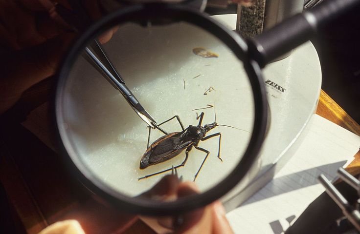 O besouro barbeiro, transmissor da doença de Chagas, também mata cerca de 10 mil todos os anos.