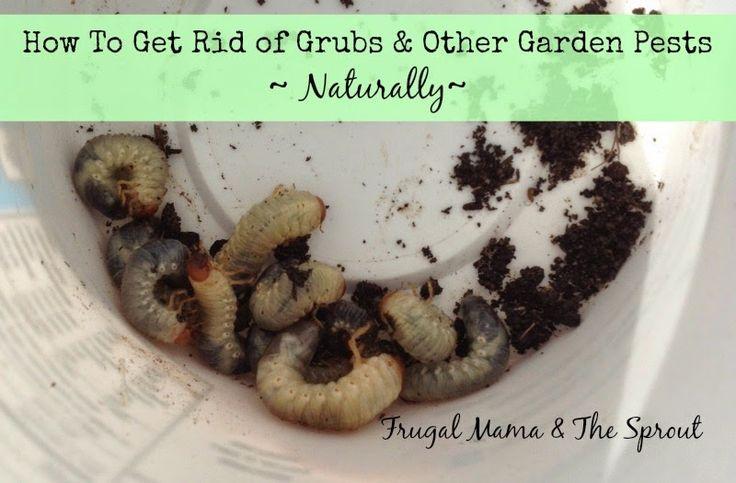 How Do You Get Rid Of Grubs Naturally