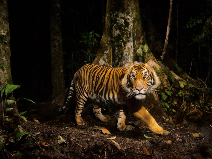 Tiger, PHOTOGRAPH BY STEVE WINTER, NATIONAL GEOGRAPHIC