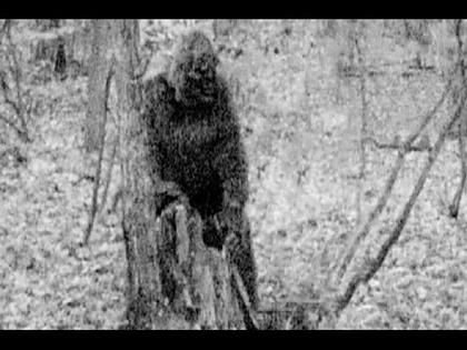 A Bigfoot grubbing a stump in West Virginia. Note coned head, browridge and relatively hairless face.