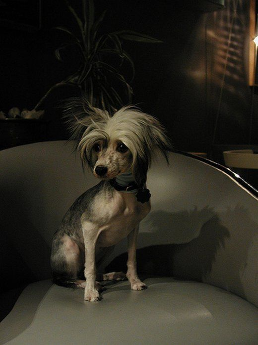 Chinese Crested - Reputation of ugliest dog breed. Very sensitive if outside too long and need moisturizing baths.