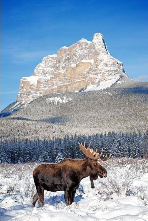 """CASTLE MOUNTAIN"", Canadian Wildlife! ❤️"