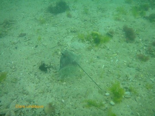 Eagle ray at Long Beach, Simon's Town, in Cape Town South Africa