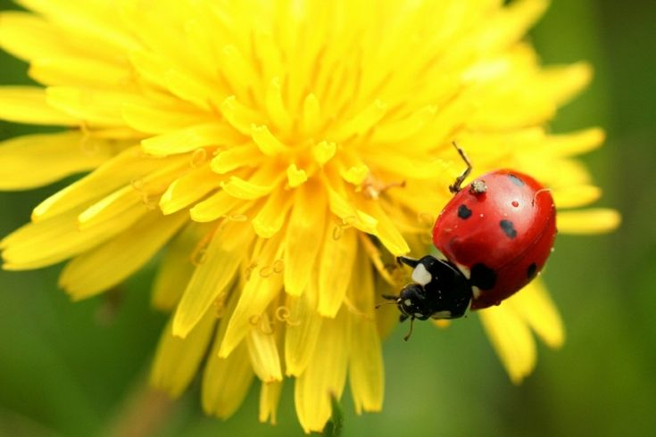 anti-puceron naturel- plantes attirant les coccinelles -Taraxacum- Pissenlit véritable