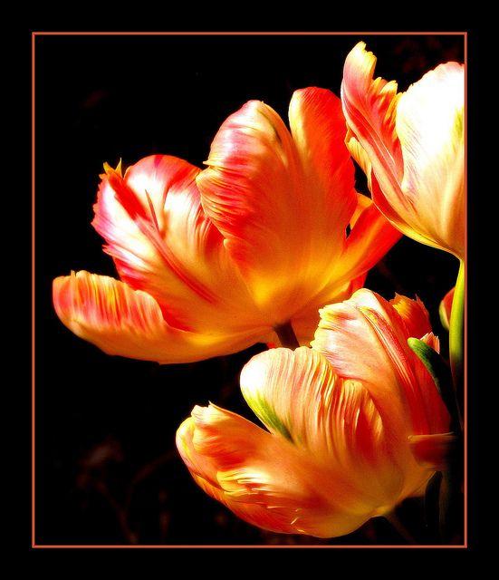 Parrot Tulips Flowers