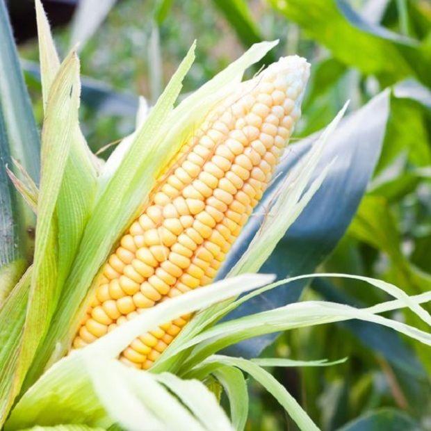 Most dobsz egy hátast, ez az évszázad kukoricatrükkje - Ripost