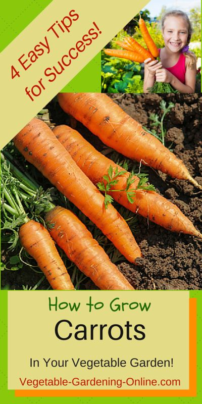 Use our tips for growing straight, sweet carrots in your vegetable garden! Also download our zone chart and planting guide to know when is the best time to plant carrot seeds in your garden.