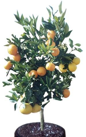 Citrus fruit salad tree. Can you believe it grows a winter and summer orange, mandarins, lemons, limes, grapefruits, tangelos and pomelos