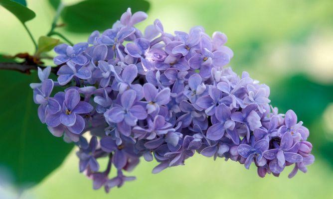 Las lilas, también conocidas por su nombre científico ?syringa?, florecen en plena primavera y su suave aroma cubre patios y terrazas. Vamos a conocer sus cuidados.