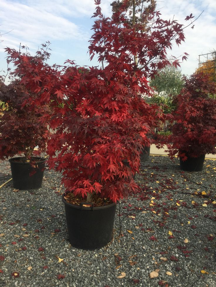 Acer palmatum at the Architectural Plants nursery