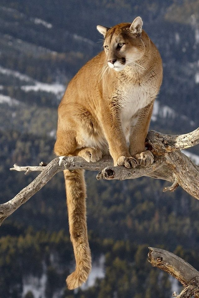 Mountain lion, high in mountain country
