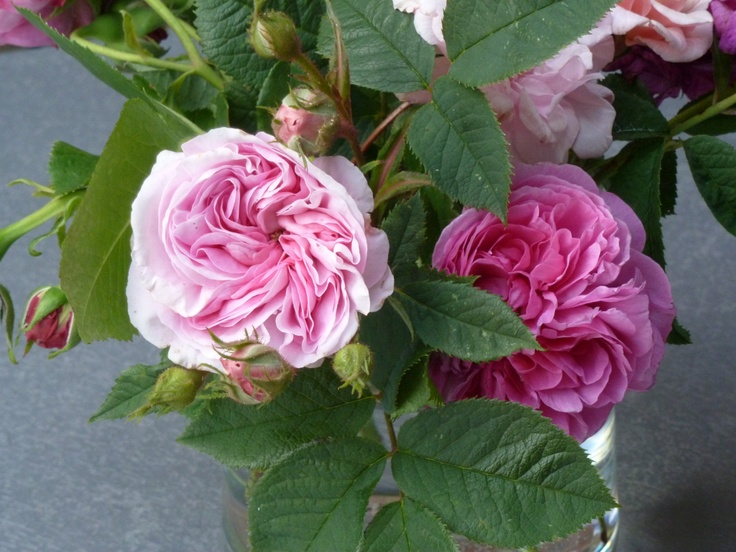 """Ah, Old Roses... The Gallica """"Empress Josephine"""" rose is on the left  and the Bourbon """"Louise Odier"""" is on the right.  I love the Empress Josephine -- it looks like a pale pink skirt with many layers, just exquisite."""