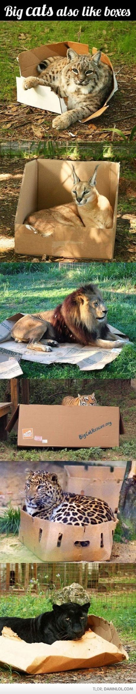 Big Cats Also Like Boxes! Haha I find this so funny. Silly kitties.