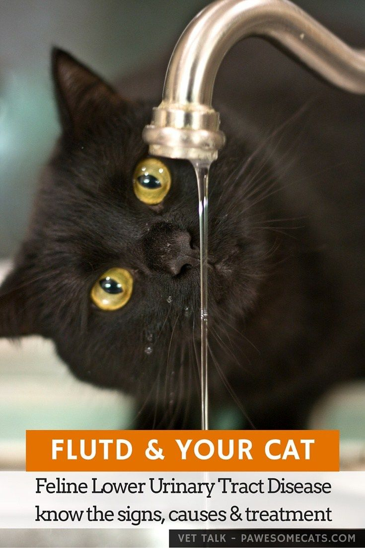 Feline Lower Urinary Tract Disease (FLUTD) describes several different problems that have similar symptoms - they all result in inflammation, leading to pain and discomfort passing urine | FLUTD & Your Cat